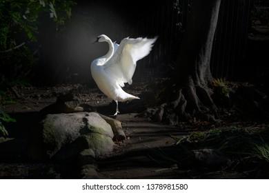 Trumpeter swan on dark background, with wings spread Cygnus buccinator. North America's largest waterfowl