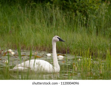 Trumpeter Swan on water in Michigan's upper peninsula