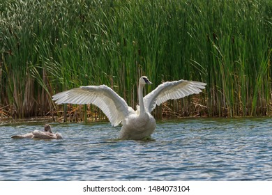Trumpeter Swan spreading its wings while watching over its cygnets.