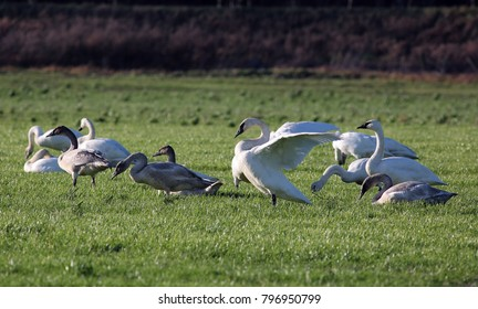 A trumpeter swan spreads its wings while wading in soggy green fields with a flock of companions.