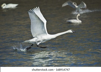 trumpeter-swan-taking-off-latin-260nw-16