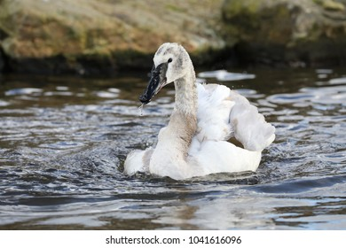 Trumpeter Swan in the water
