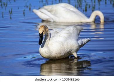 Trumpeter swans (Cygnus buccinator) in Yellowstone National Park, Wyoming, USA