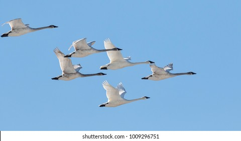 Trumpeter swans flying flock
