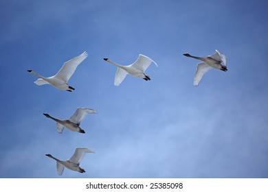 Trumpeter swans flying in a perfect V formation through a beautiful blue sky with clouds