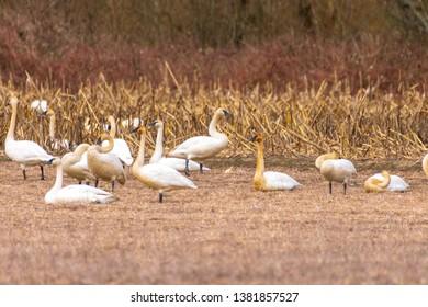 Trumpeter Swans at Johnson DeBay's Slough Game Reserve