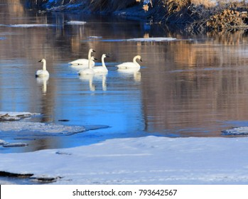 Trumpeter swans in a rive r swimming