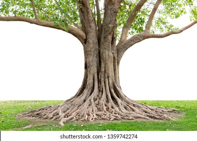 Trunk and big tree roots spreading out beautiful in the tropics. The concept of care and environmental protection.