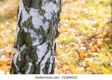 trunk birch in autumn scenery - shallow depth of field