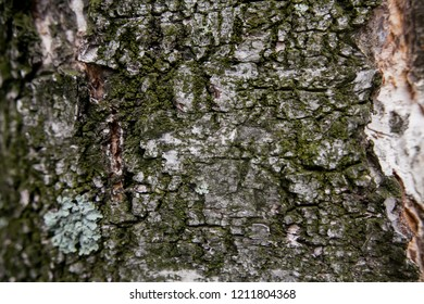 trunk of birch covered with moss old tree close-up shot of birch bark