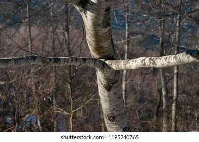 """trunk and branch beech with curious cross or """"X"""" shape. Montsent natual parck"""