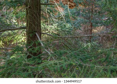 Trunk and branches with acicular leaves. Douglas Fir. Pseudotsuga menziesii.