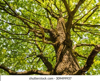 The trunk and branches of an old oak tree viewed from below