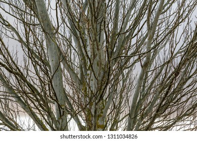 Trunk and branches of White Poplar. Populus alba