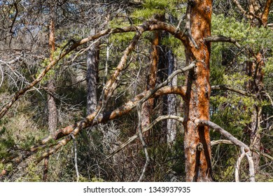 Trunk and branches of wild pine. Pinus sylvestris.