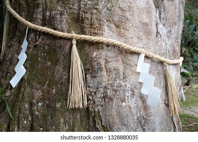 The trunk of a camphor tree decorated with a sacred shinto straw festoon called 'Shimenawa' at Shinto shrine, Japan.