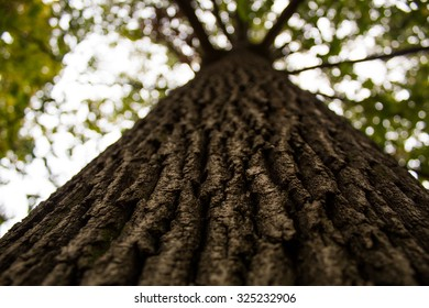 Trunk And Crown Of Deciduous Tree
