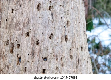 Trunk of a diseased pine with traces of a woodpecker beak