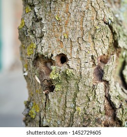 Trunk of the first ash tree damaged by the Asian longhorned beetle in Magdeburg