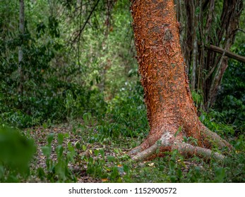 The trunk of a gumbo-limbo tree in the Mexican jungle surrounded by foliage