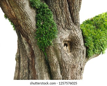 The Trunk of a Huge Live Oak Tree with Resurrection Fern Growing on It Isolated on White