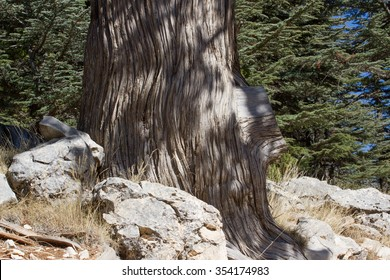 The trunk of the juniper in the forest. Juniper stump