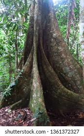 Trunk of a majestic ceiba. Amazon forest in the Madidi National Park, Bolivia