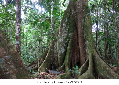 Trunk of a majestic ceiba. Amazon forest in the Madidi National Park, BoliviaMadidi National Park can be reached from Rurrenabaque if you cross the Beni River with the small passenger ferry.