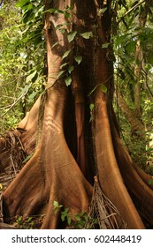 Trunk of a majestic ceiba, tropical tree, Tayrona National Park, Santa Marta range.  Caribbean Region in Colombia. It is one of the most important natural parks of Colombia.