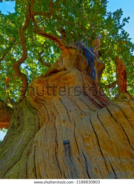 Up the trunk of an oak tree that has lost its bark. Cracked and striped multi-couloured wood ends in a canopy of leaves.
