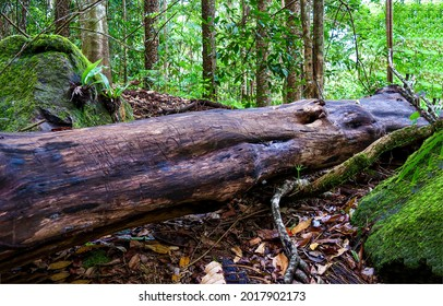 The trunk of an old fallen tree in the forest. Tree trunk fallen. Fallen tree trunk in forest. Tree trunk in woods