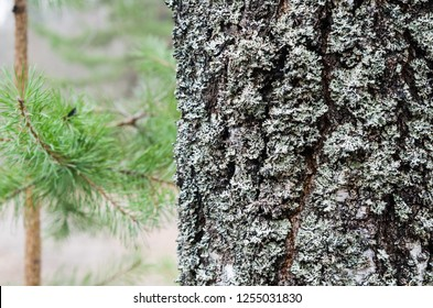 The trunk of an old moss-covered pine tree, a natural background