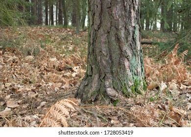 A trunk of an old pine tree standing in the leaves fallen foiliage autumn european forest
