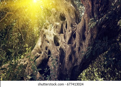 The trunk of the old sacred olive tree in the rays of the sun. Sacred garden concept. Holy Week Palm Sunday Hosanna concept