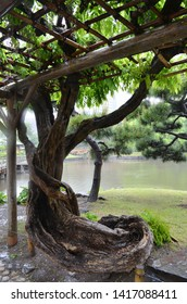 The trunk of an old wisteria tree grows through a wooden lattice, through which hang branches of wisteria covered with green leaves. Japanese pines, a pond a bridge and a tea house are in the distance