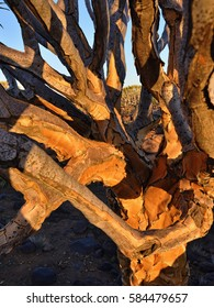 Trunk of the Quiver Tree in forest outside of Keetmanshoop, Namibia at sunset. Warm evening light. Natural background