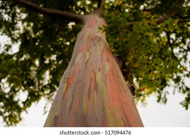 Trunk of a rainbow eucalyptus tree.