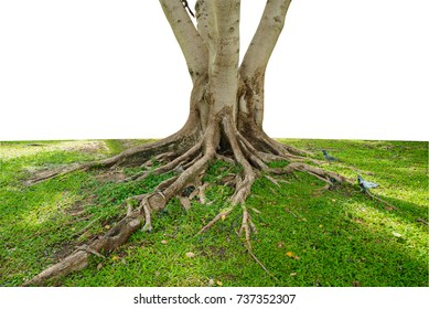 Trunk and tree roots  on white blackground,with clipping paths.