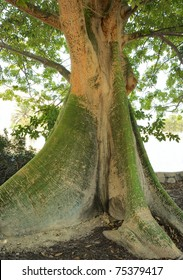 Trunk of a tropical tree Ceiba pentandra