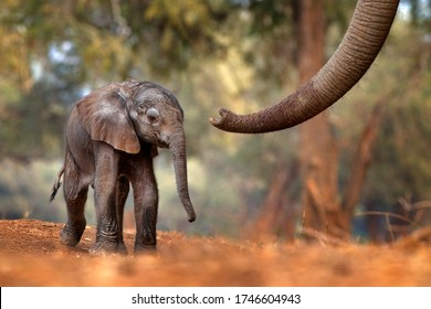Trunk with young pup Elephant at Mana Pools NP, Zimbabwe in Africa. Big animal in the old forest, evening light, sun set. Magic wildlife scene in nature. African baby elephant in beautiful habitat.
