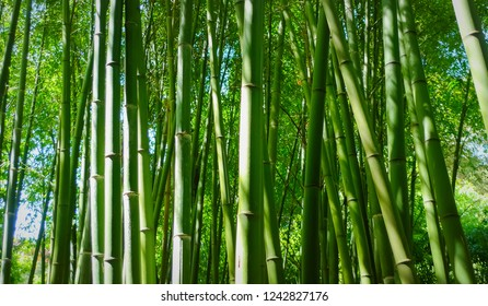 The trunks of the bamboo plants