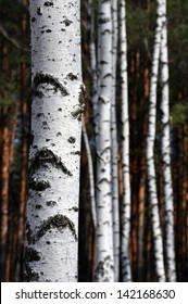 trunks of birch trees