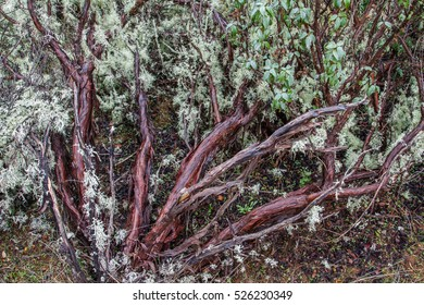 Trunks and branches of Black steppe, Mountain steppe, Jara. Cistus laurifolius.