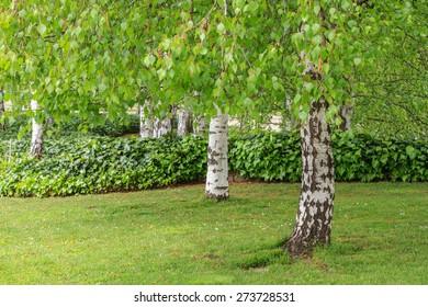Trunks and branches, Common birch. Betula pendula.