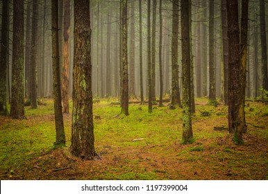 trunks of the coniferous trees in the misty forest