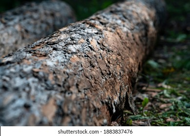 Trunks of fallen trees lie on the green grass in the forest. The brown bark of the tree is eaten by birds. Beautiful view of a fallen tree.