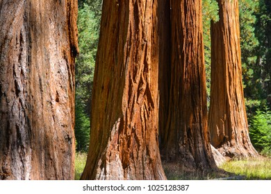 Trunks of giant sequoia trees in Sequoia National Park, California.