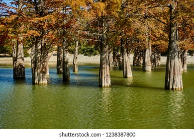 Trunks of marsh cypress trees in the water of a mountain lake. Huge trunks of the famous old deciduous conifers (Taxódium dístichum) of the cypress family in the water. Close-up. Sukko Valley