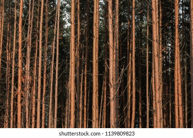 trunks of pine forest