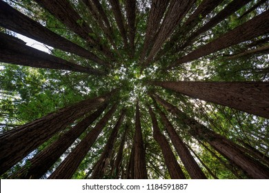 Trunks of redwood trees converge at green canopy